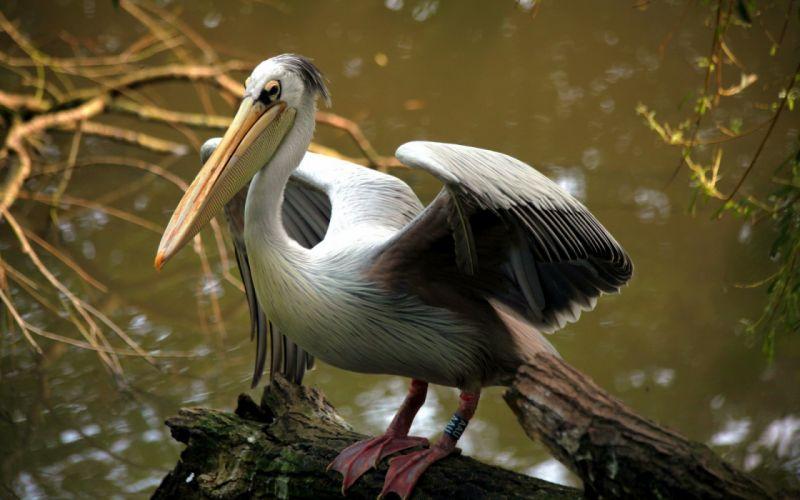 Pelican bird nature wallpaper