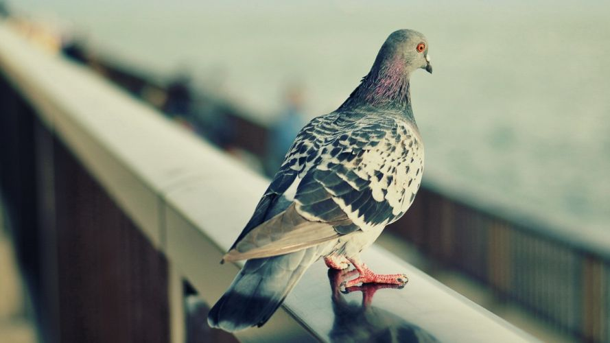 pigeons pigeon wallpaper