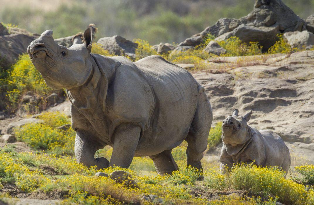 Rhino Rhinoceros Calf Baby wallpaper