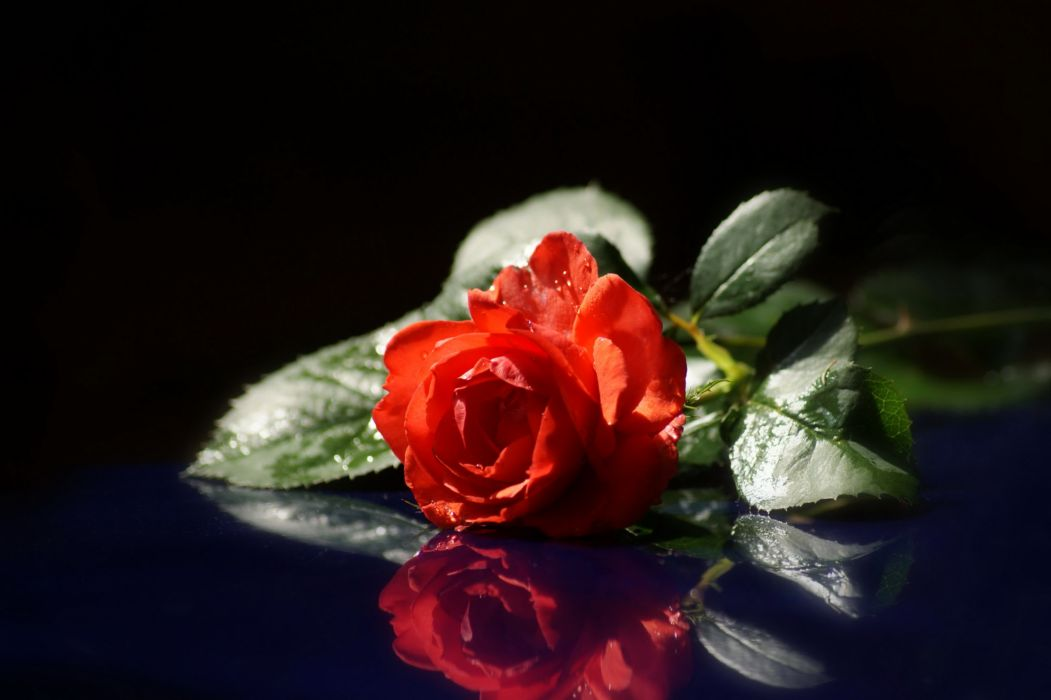 Roses Red Flowers wallpaper