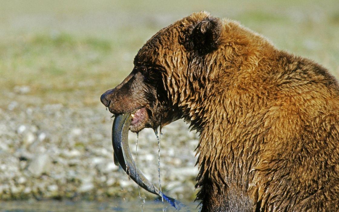 salmon bears bear wallpaper