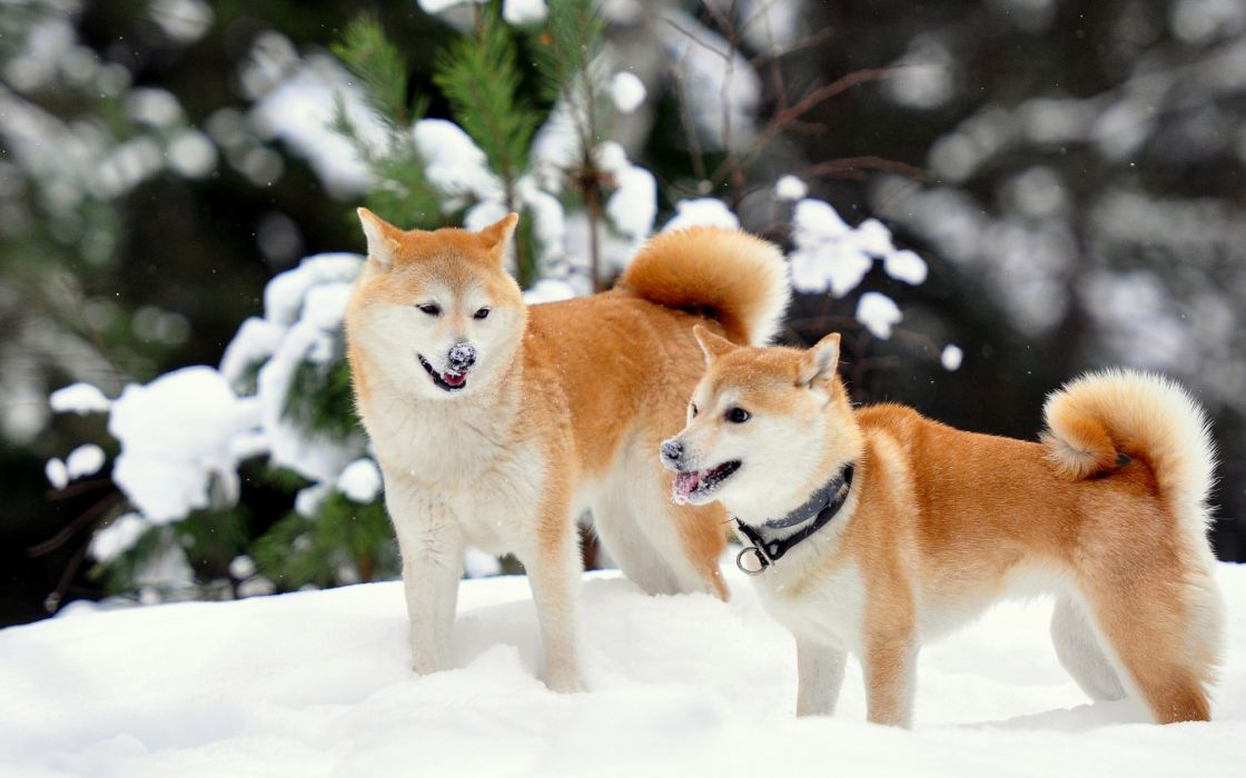 Shiba Inu Winter Snow Wallpaper