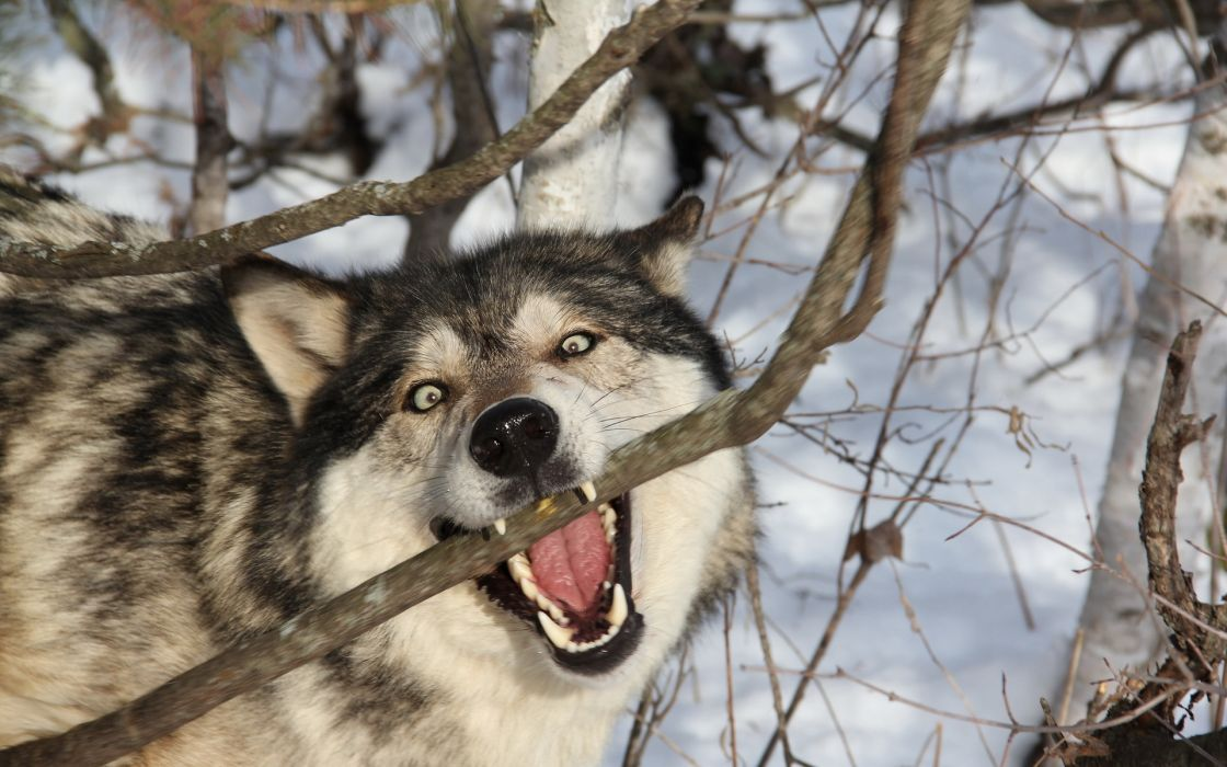 Wolves Branches Glance Animals wolf wallpaper