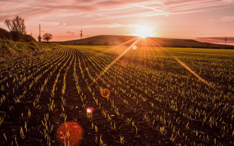 Field Crop Sunlight Sunset Plants wallpaper
