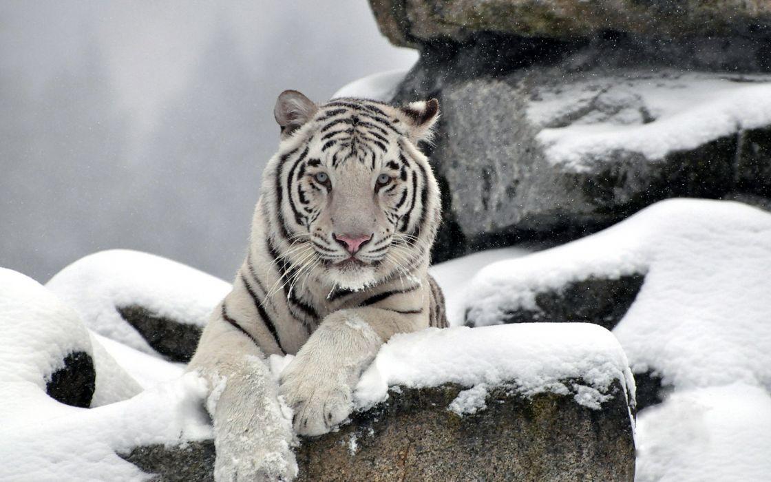 tiger white albino snow winter wallpaper