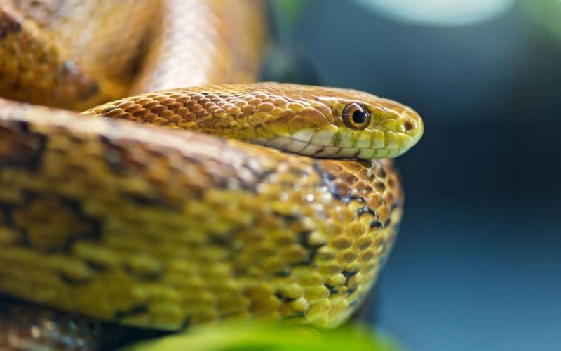 Snakes Macro snake eyes wallpaper