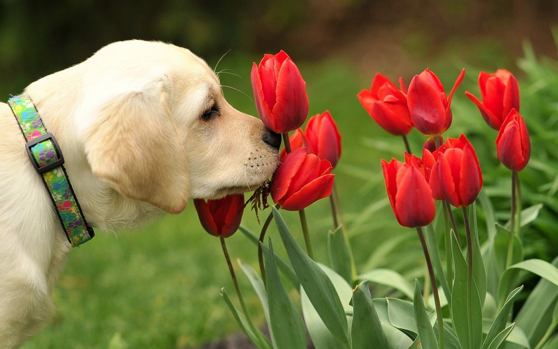dog flowers tulips dogs puppy wallpaper