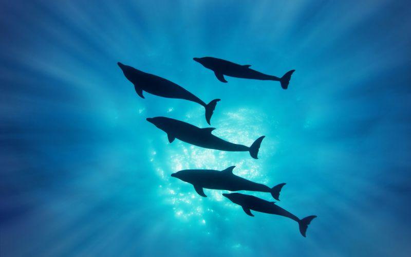 dolphins dolphin ocea sea underwater a wallpaper