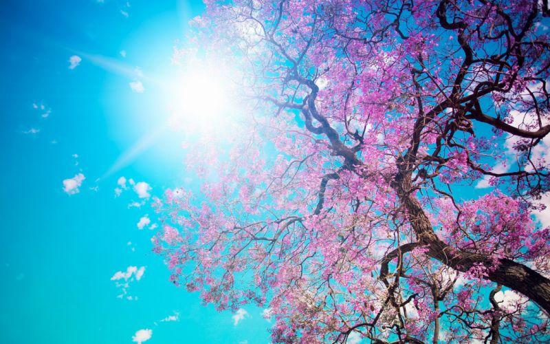 Cherry Blossom- tree wallpaper