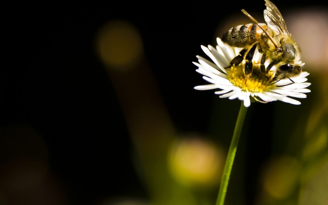 bee  insect  flower  daisy  sun flowers macro wallpaper