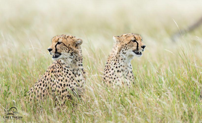 cats Cheetahs Grass Animals Cheetah wallpaper