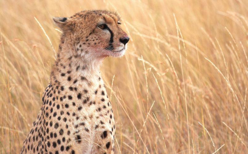 cats Cheetahs Grass Animals Cheetah a wallpaper