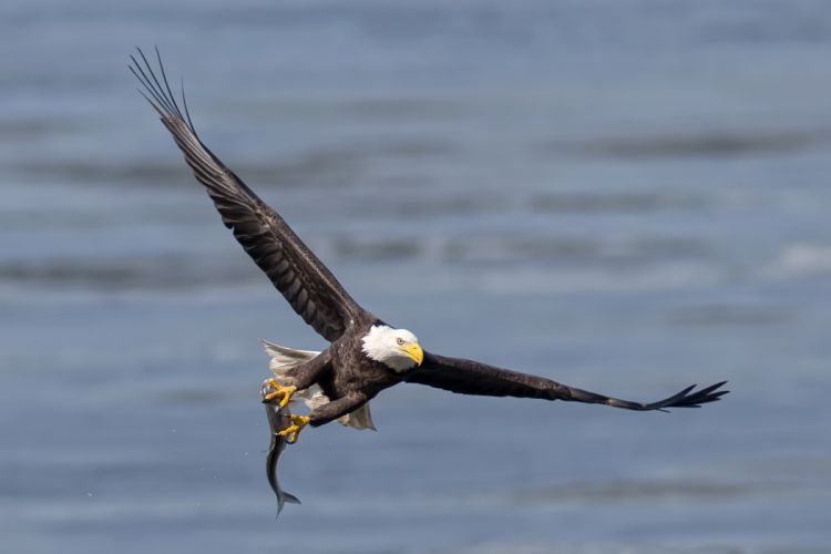 eagle fish fishe3s eagles wallpaper