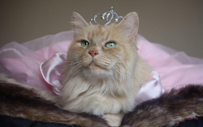 princess crown cat humor cute wallpaper
