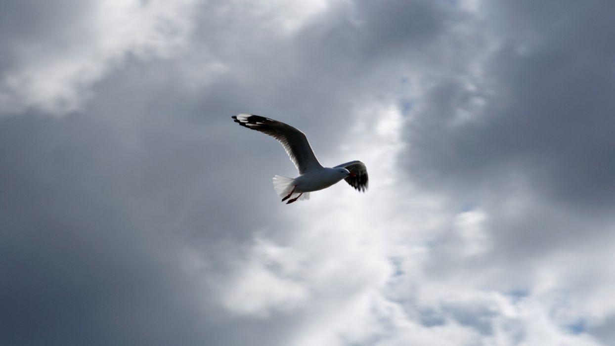 seagull bird sky cloud seagulls wallpaper