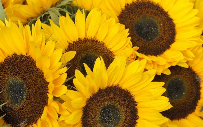 sunflowers sunflower wallpaper