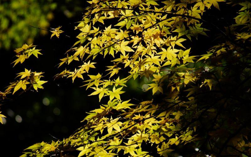tree maple leaves foliage crown green light shadow trees leaf wallpaper