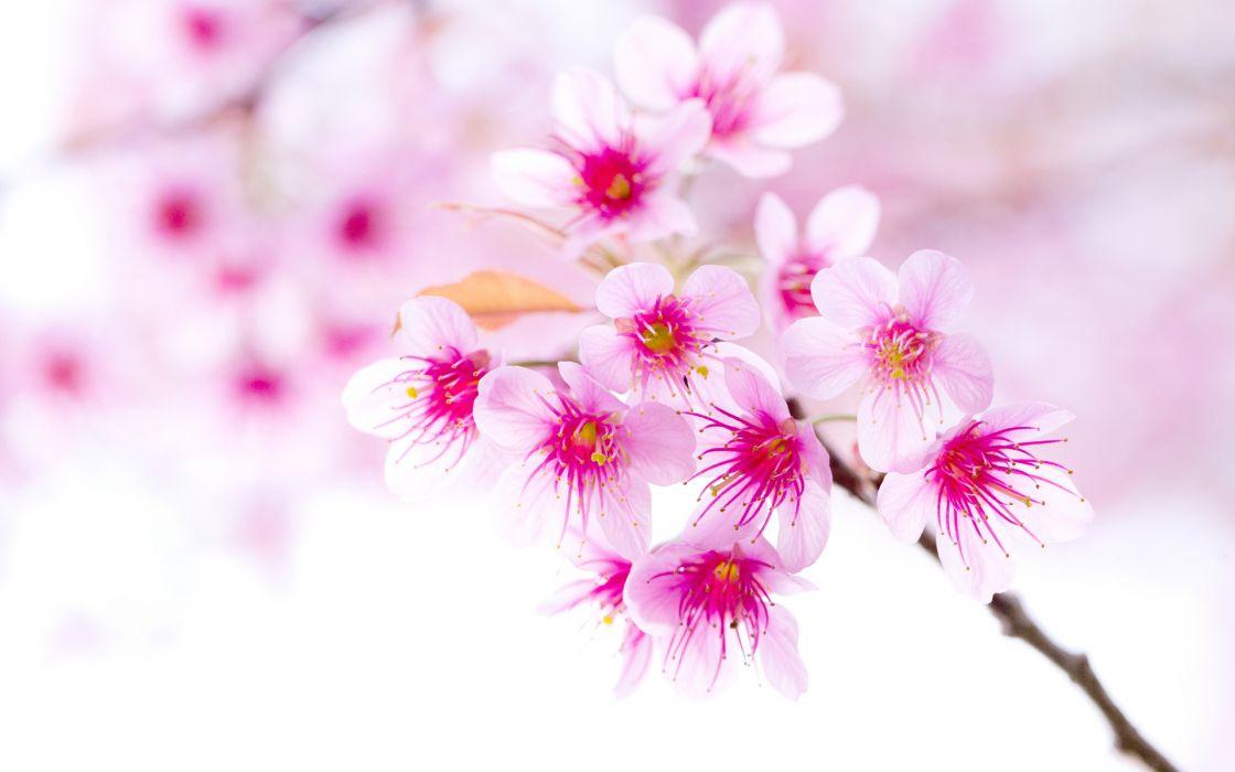 pink flower flowers blossom blossoms bokeh wallpaper