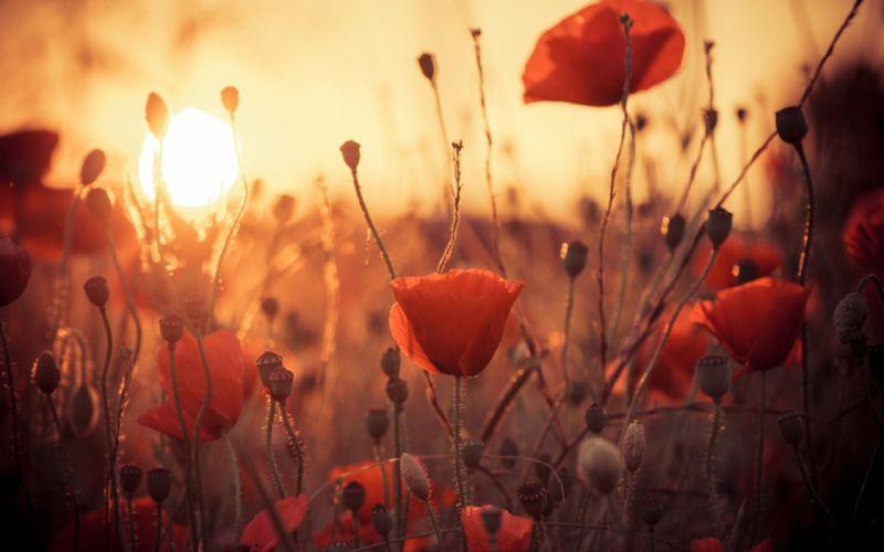 flowers poppies sun sunset sunrise bokeh wallpaper