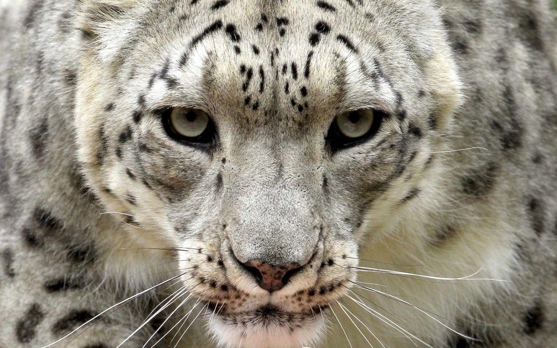 snow leopard leopards face eyes wallpaper
