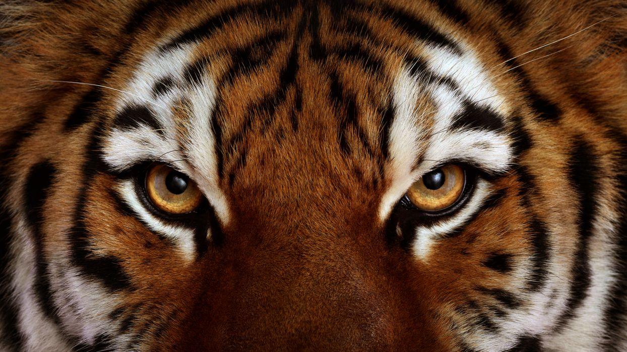 tiger tigers face eye eyes cat wallpaper