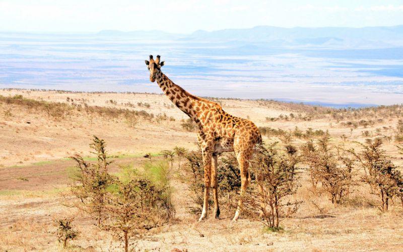 giraffe africa landscapes wallpaper