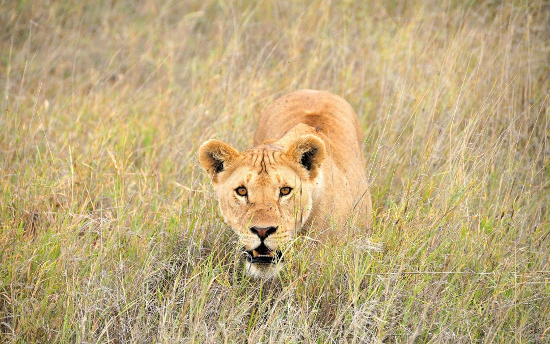 lion lions cat wallpaper