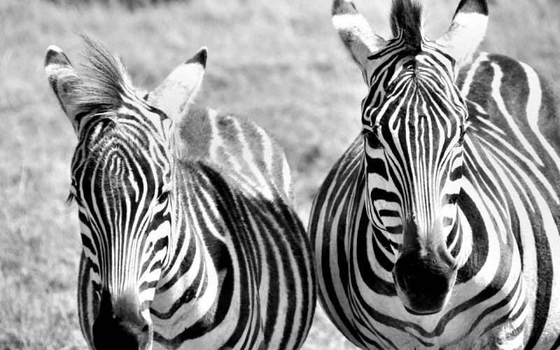 zebras zebra stripes pattern wallpaper