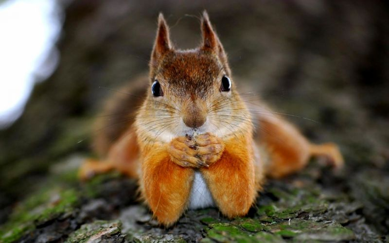 Squirrel humor funny face eyes wallpaper