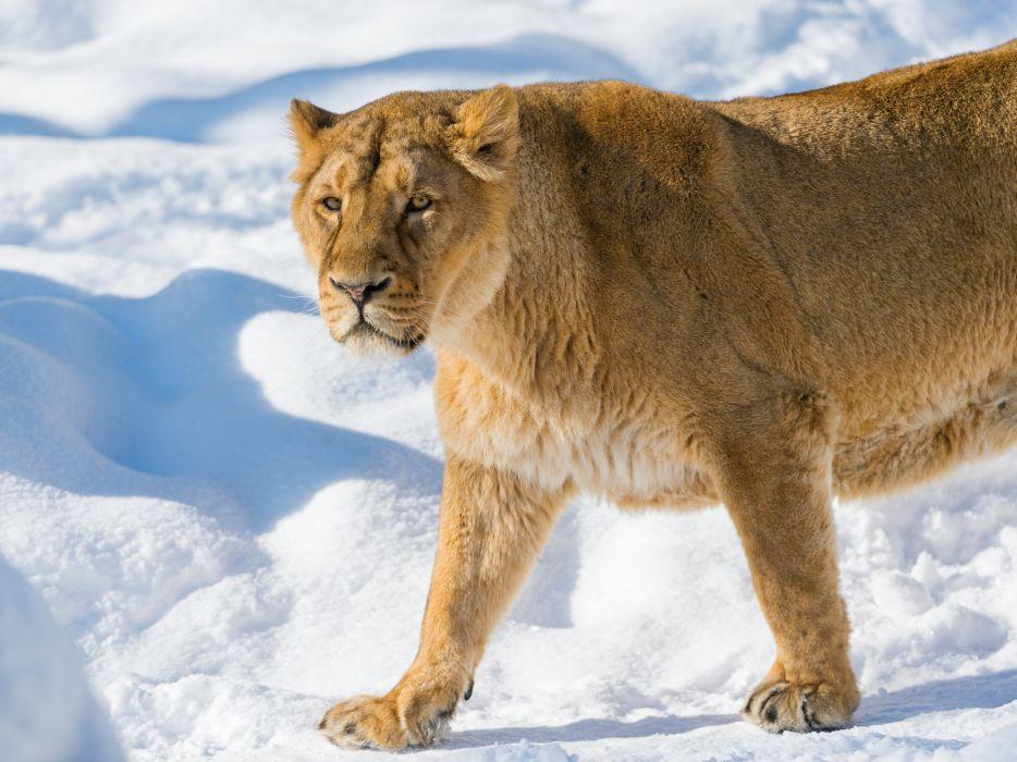 cats Lions Animals lion cat winter snow wallpaper