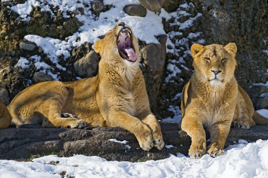 cats Lions Animals lion cat wallpaper