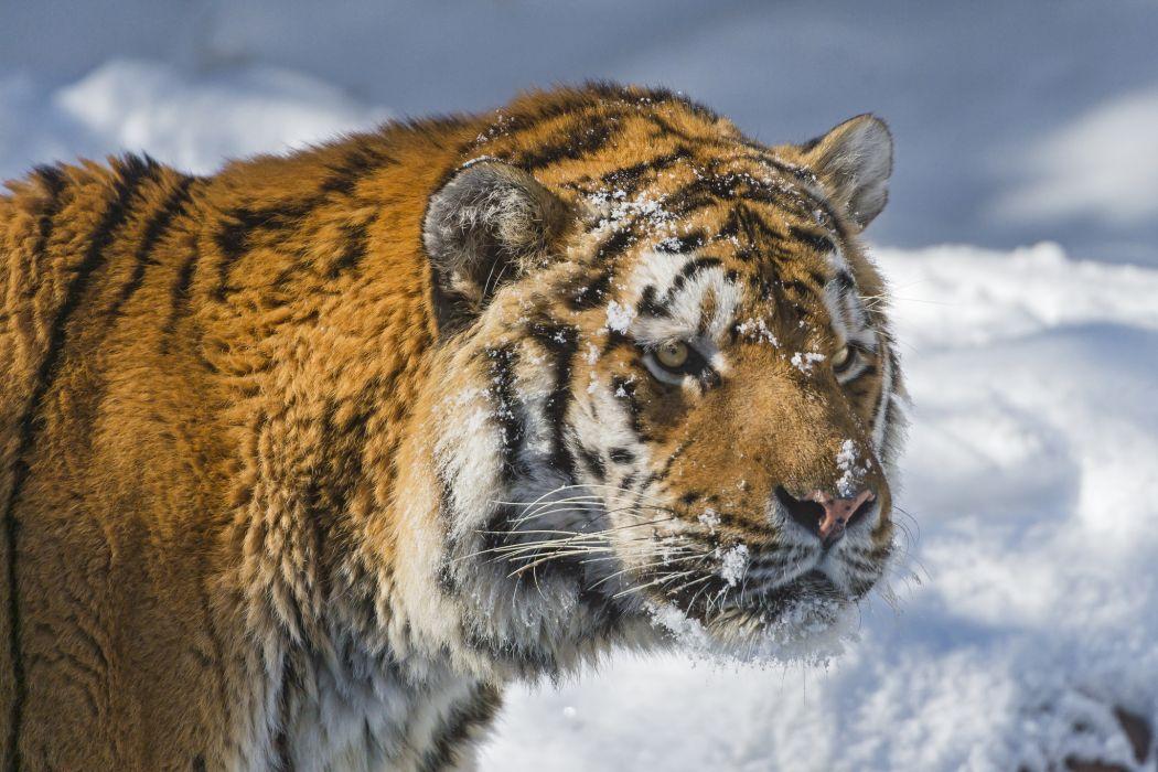cats Tigers Animals tiger cat  q wallpaper