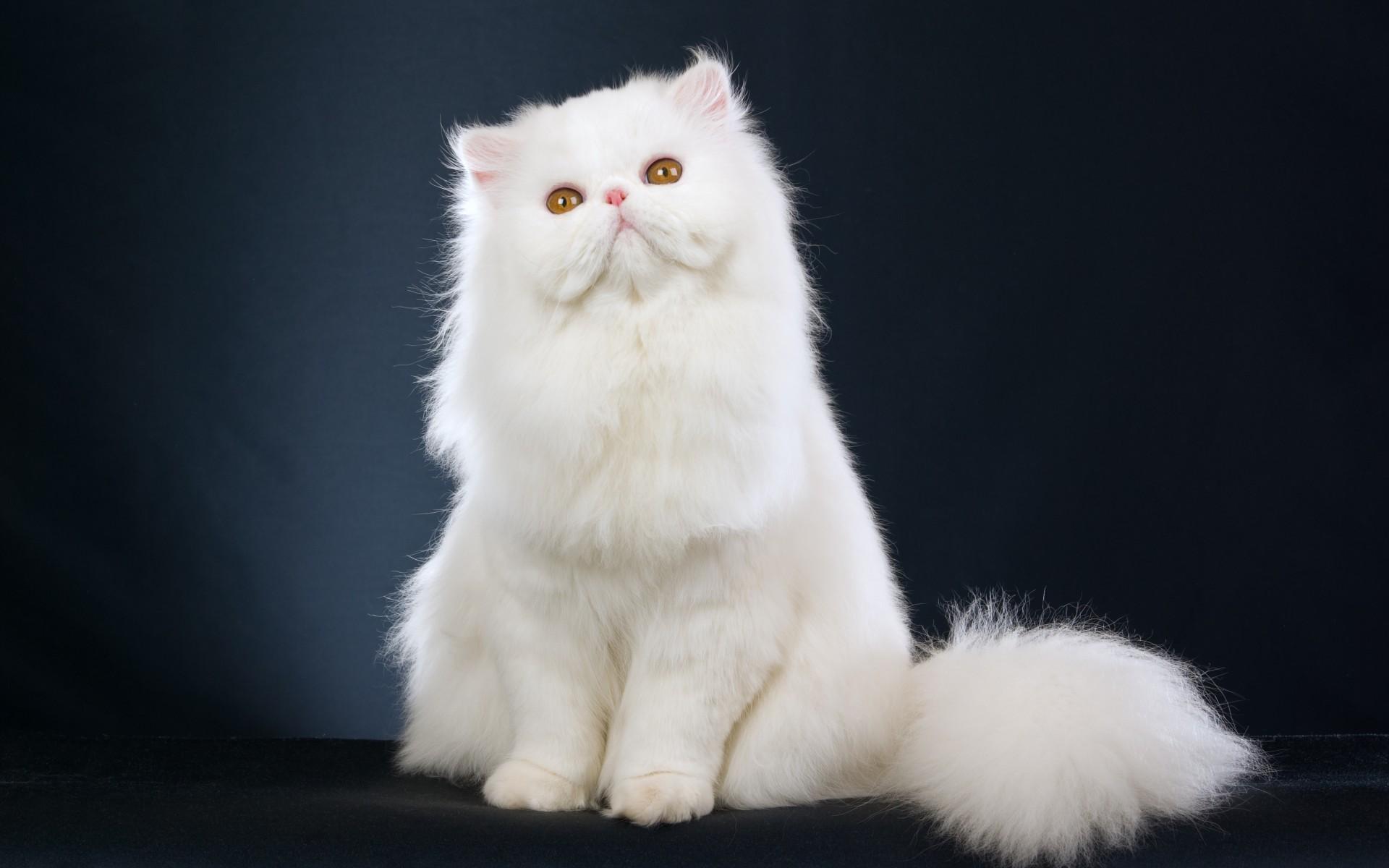 White Persian Cat Kitten Wallpaper 1920x1200 84045 Wallpaperup