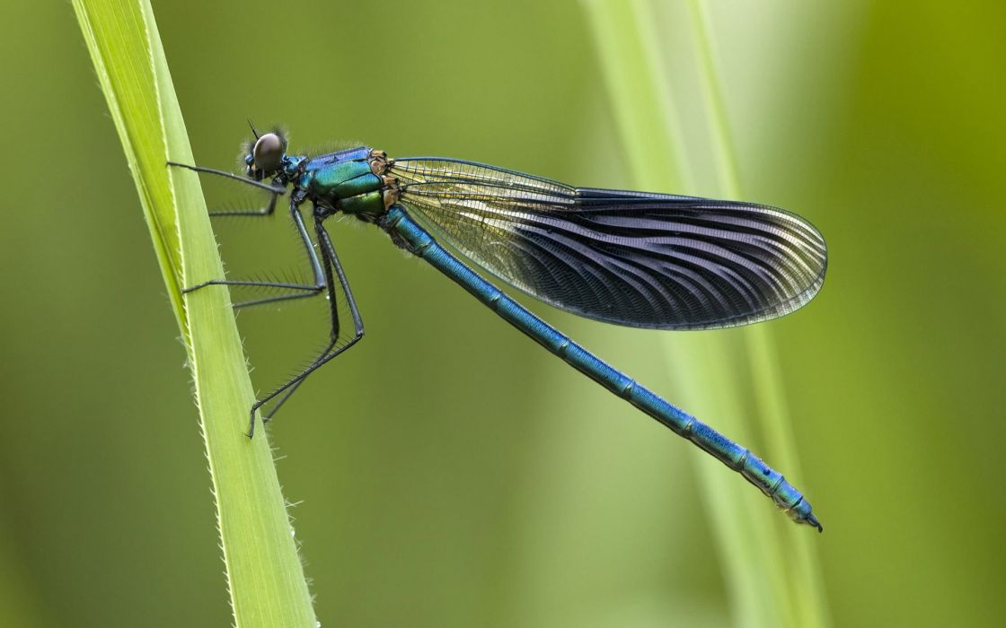 animal insect dragonfly wallpaper