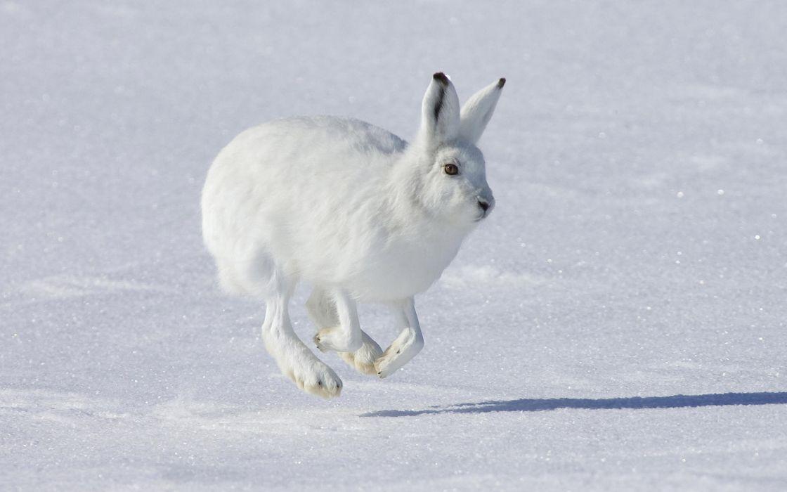 hare rabbit animal snow wallpaper