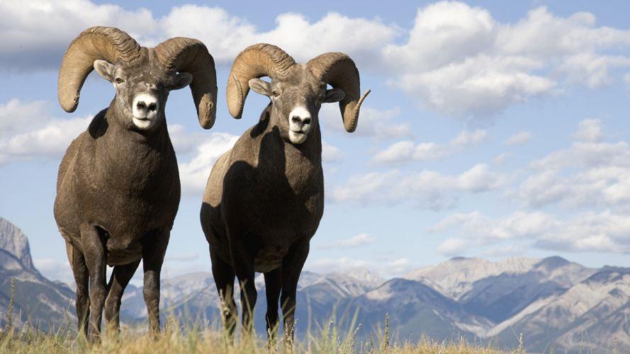 sheep bighorn bighorn sheep animal wallpaper