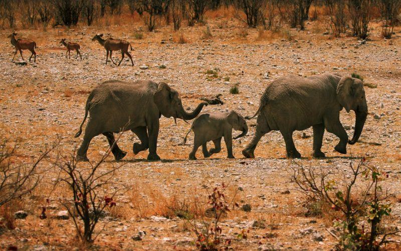 elephant elephants africa baby babies wallpaper
