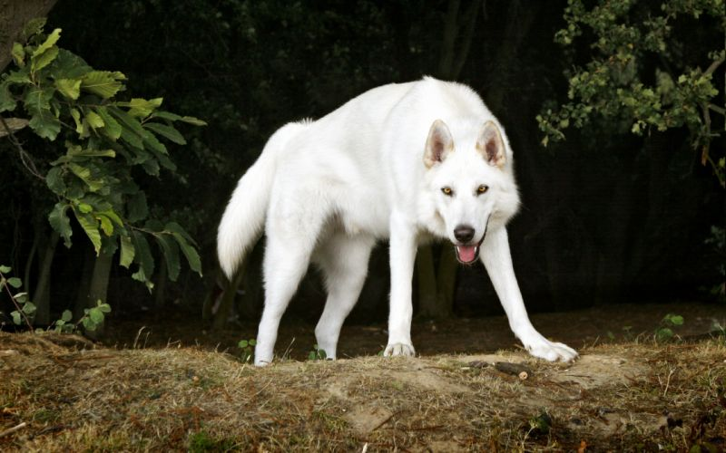 Northern Inuit Dog dogs white look stare gaze pov wallpaper