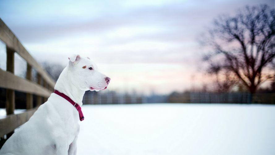 pit bull winter snow dog wallpaper
