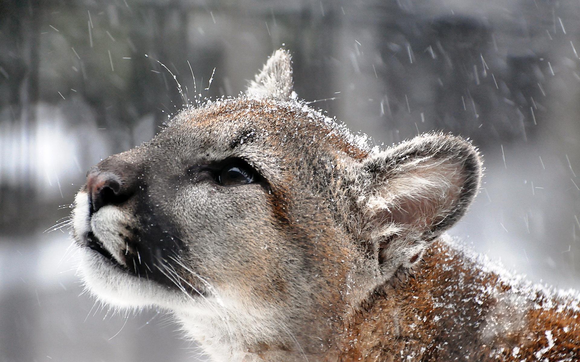 <b>puma cougar mountain</b> lion face is tub sports pretty HD <b>wallpaper</b>