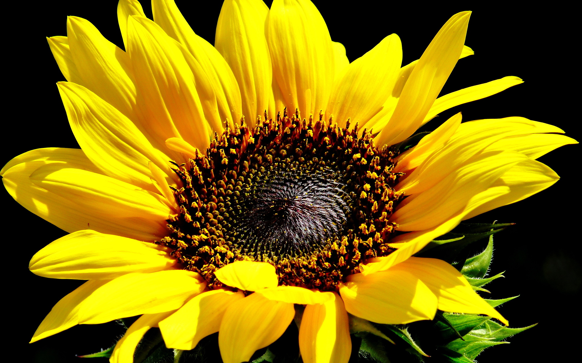 Sunflowers sunflower yellow flower q wallpaper | 1920x1200 ...