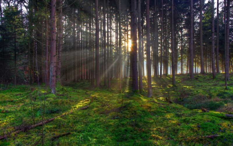 tree trees forest sunlight rays beams beam ray sunset sunrise moss landscapes wallpaper