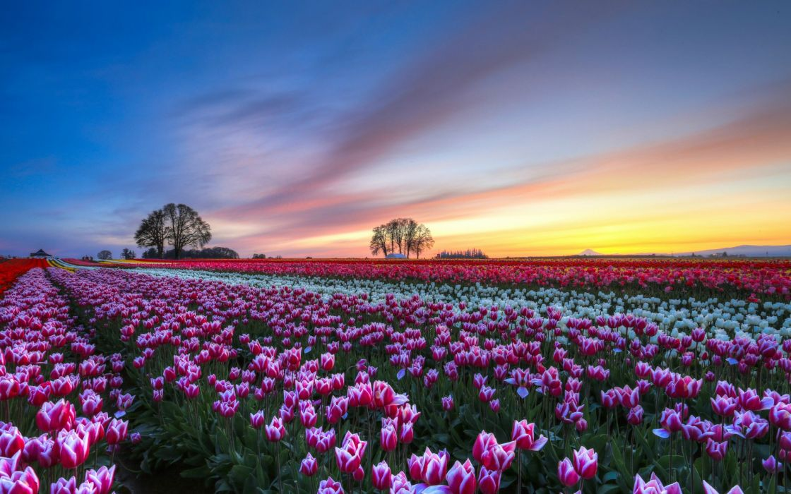 tulips colorful flowers trees evening sunset sky clouds hdr bokeh wallpaper