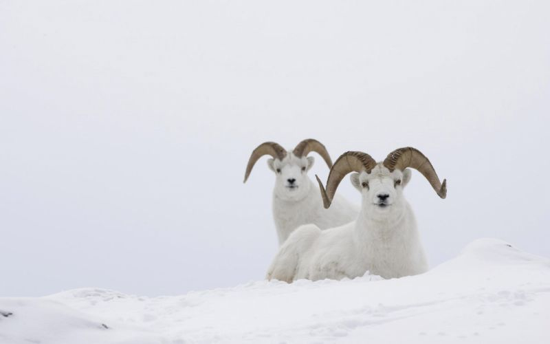 sheep snow animal wallpaper