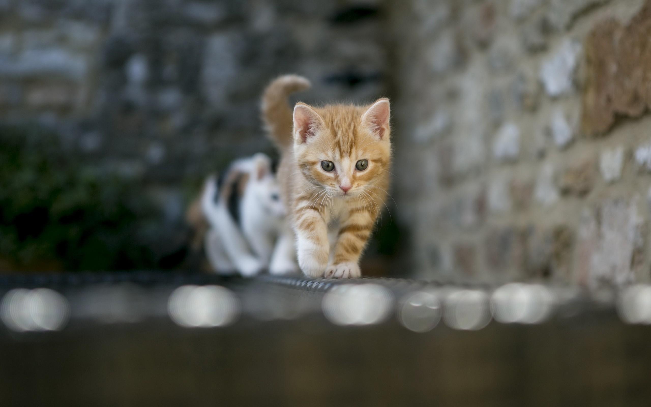 Cat cats kitten kittens wallpaper 2560x1600 85260 - Kitten wallpaper ...