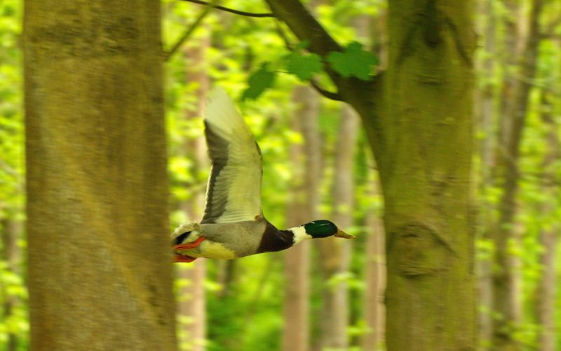 duck ducks bird trees forest nature wallpaper