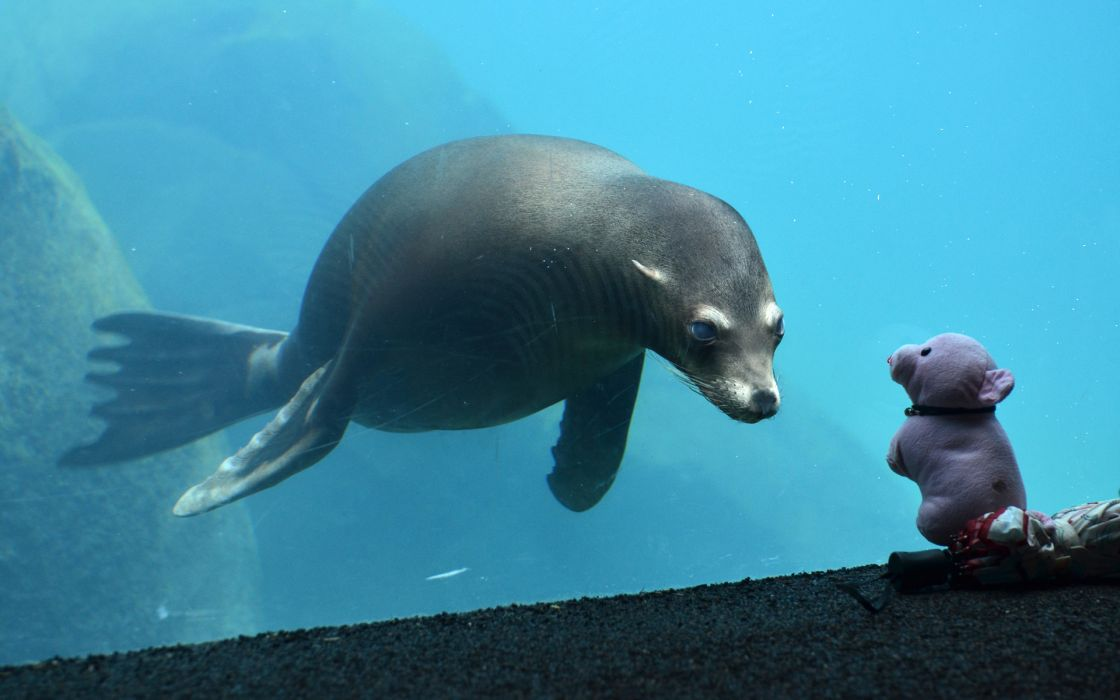 underwater seal seals cute glass toys toy wallpaper