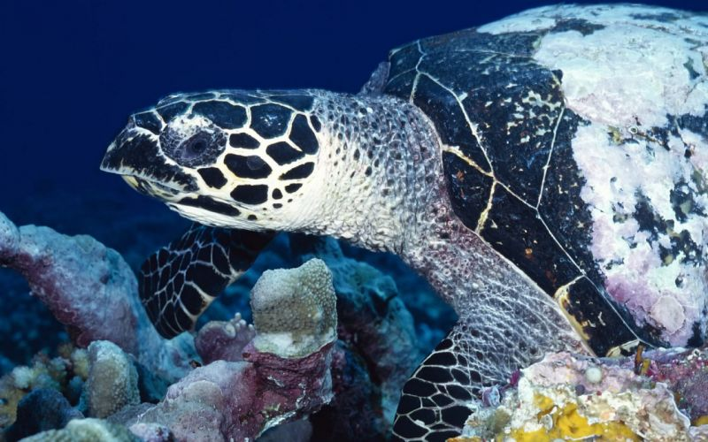 nature animals sea turtles coral wallpaper