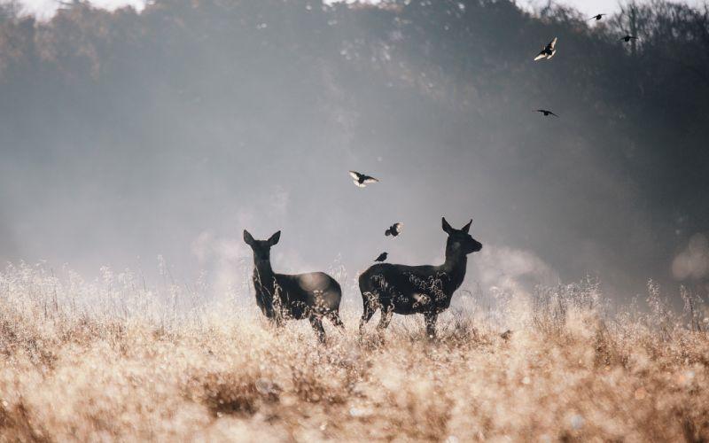 nature animals deer wallpaper