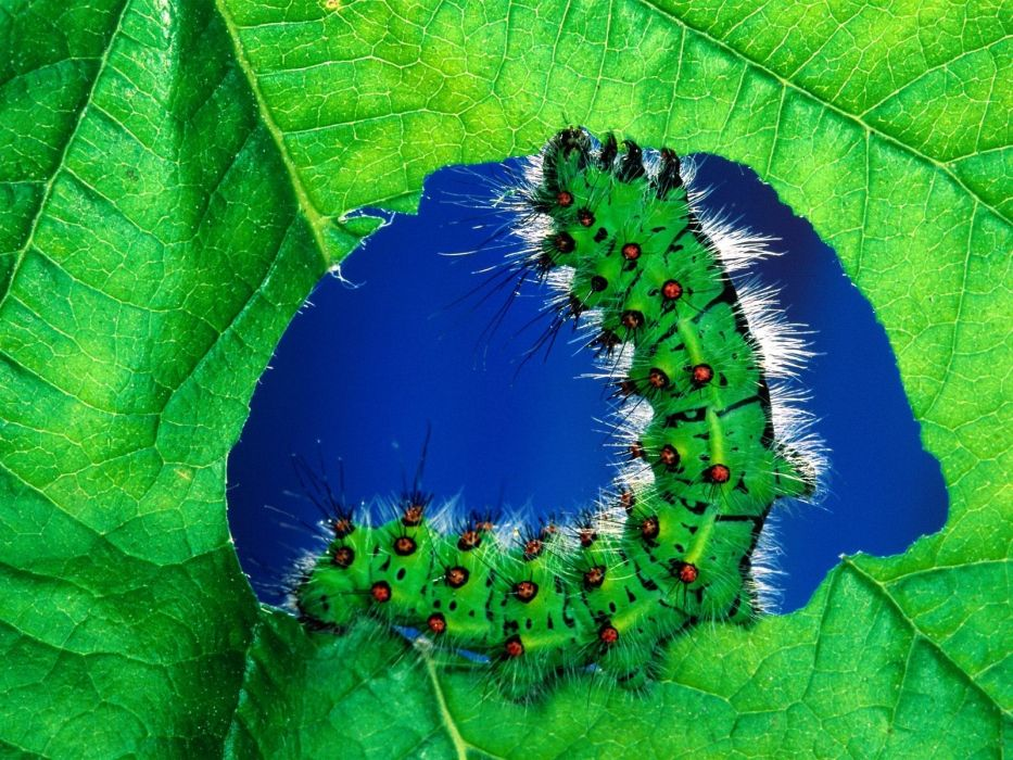leaves caterpillars caterpillar wallpaper